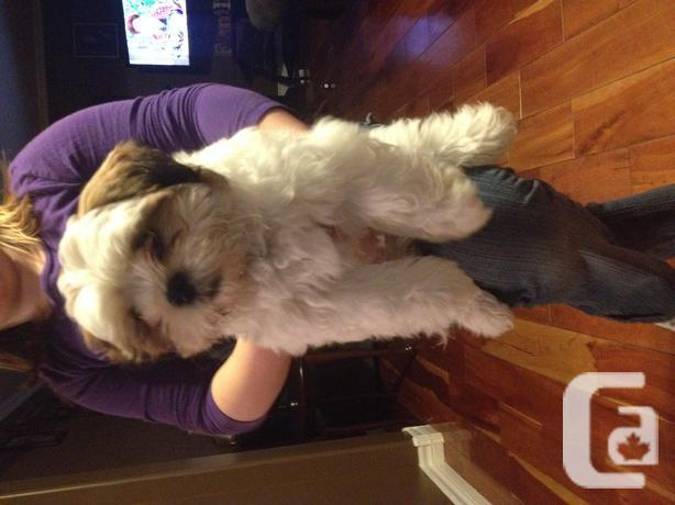 3 Month Old Shihtzu Puppy For Sale In St Louis Prince Edward Island