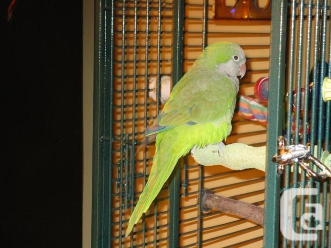 4 y.o. Quaker parrot with Pad crate