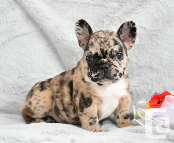 Adorable Top Quality French Bulldog Puppies Available For Sale In Port Burwell Ontario Classifieds Canadianlisted Com
