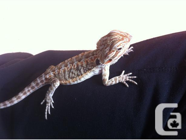 Baby bearded dragon with everything you need
