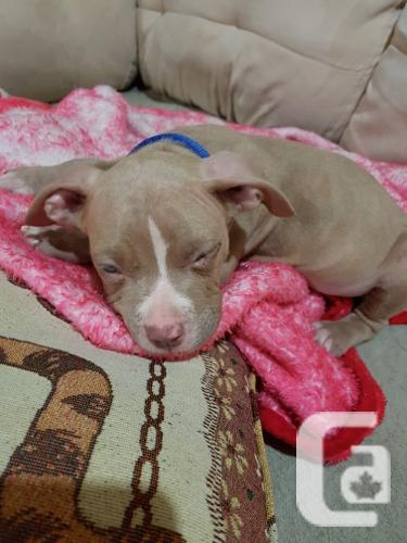 BlueNose Puppy For Sale