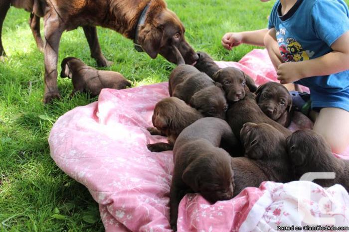 Chocolate Lab Pups for sale in Castlegar, British Columbia
