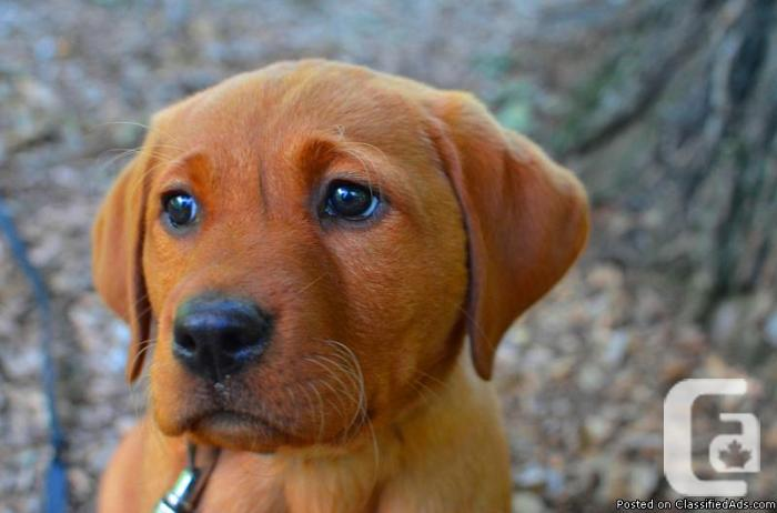 CKC REGISTERED YELLOW OR FOX RED LABRADOR PUPPIES LAB in Norwich, Ontario  for sale