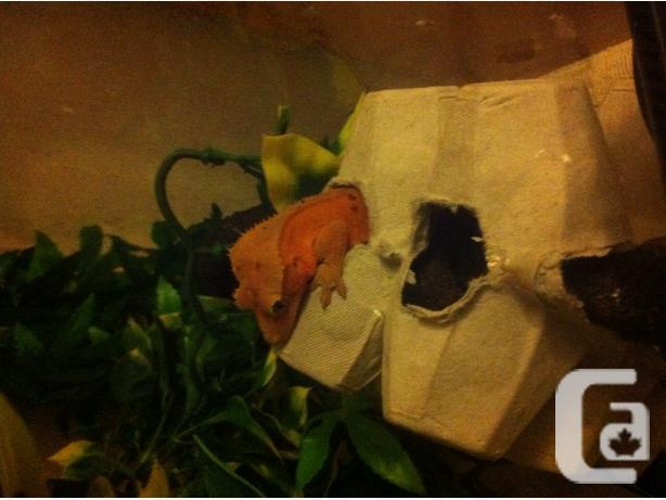 **CRESTED GECKO HATCHLINGS**BREEDER CLEAROUT
