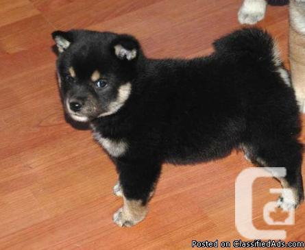 Cute and Adorable Shiba Inu puppies