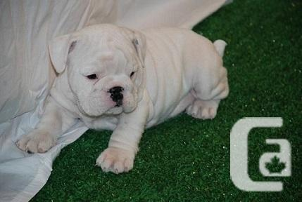 CUTE MALE AND FEMALE ENGLISH BULLDOGS FOR