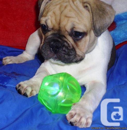 Fantastic French bulldog pup available