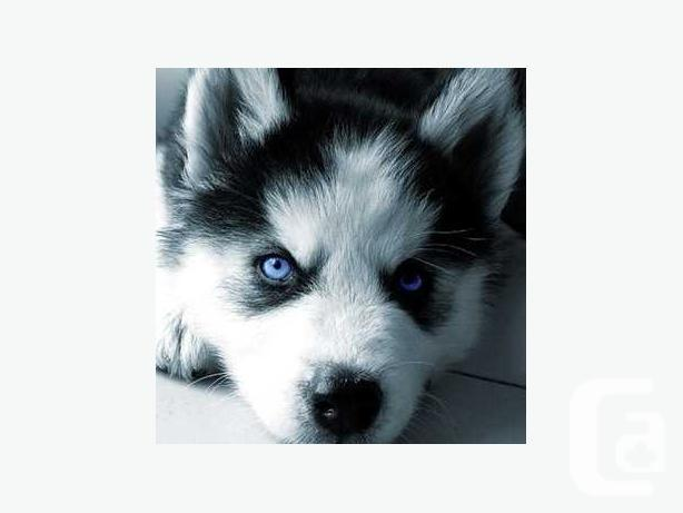 WANTED: Free or Cheap Female Husky puppy
