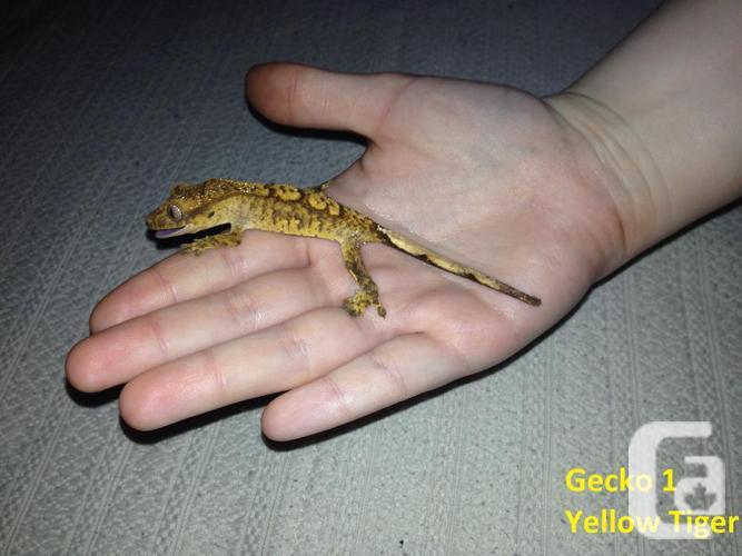 Geckos Available These Days