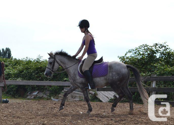grey welsh pony