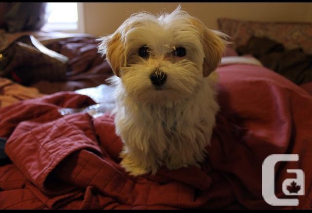 Half Havanese Half Maltese male dog for breeding.