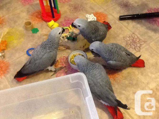 Handfed Grey Infants
