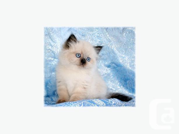 WANTED: Himalayan or Birman Kittens