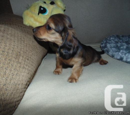 LONG HAIR MINI DACHSHUND PUPPIES