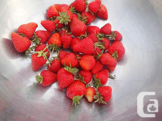 Mail Order Probiotically Grown Everbearing Strawberry