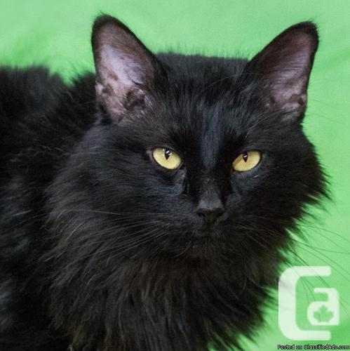 MEOW Foundation's Fluffy Galway Looking for a Forever