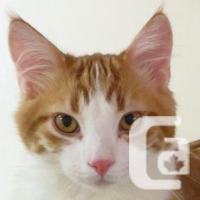 MEOW Foundation's Kitten Louis the Six-Teeth Looking