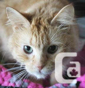 MEOW Foundation's Little Marmalade Looking for a Cuddly
