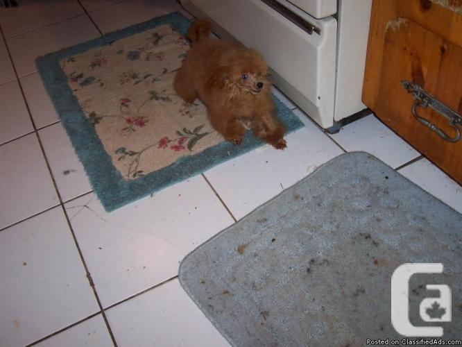 Poodle Puppies CKC registered