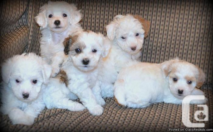 Poodle Puppies In Smithville Ontario For Sale