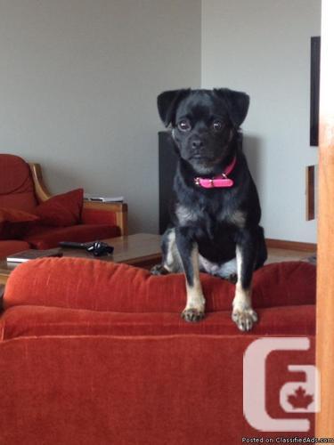 Pug/ Chihuahua for sale