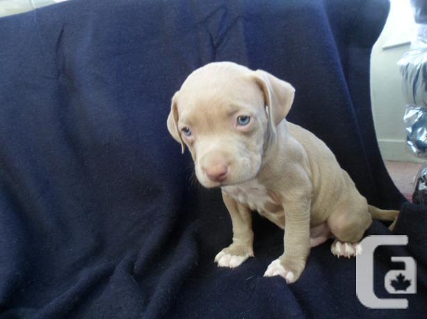 Purebred Pitbull Bully Puppies For Sale In De Winton Alberta