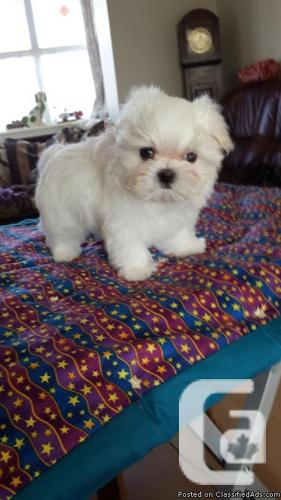 Registered Maltese Puppy Ready Now!