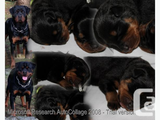 Registered Rottweiler Pups For Sale In Mill Bay British Columbia