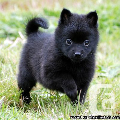 Schipperke Pups For Sale For Sale In Evansburg Alberta Classifieds