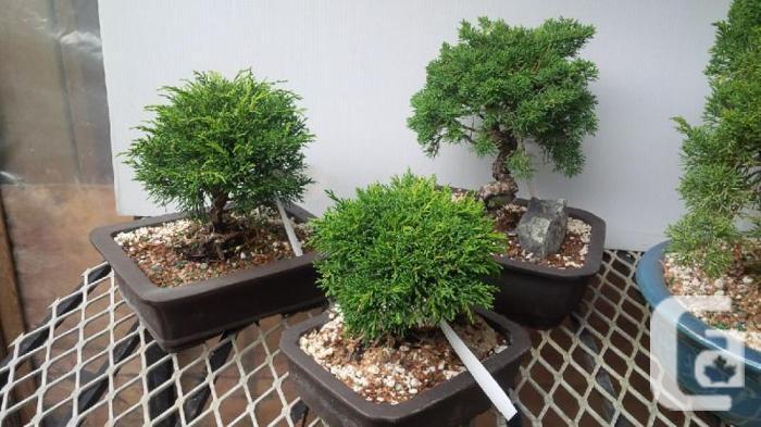 Wiring Juniper Bonsai on wiring bonsai step by step, trim juniper bonsai, hollywood juniper bonsai, shaping juniper bonsai, chinese juniper bonsai, shimpaku juniper bonsai, wiring rosemary bonsai, starting juniper bonsai,