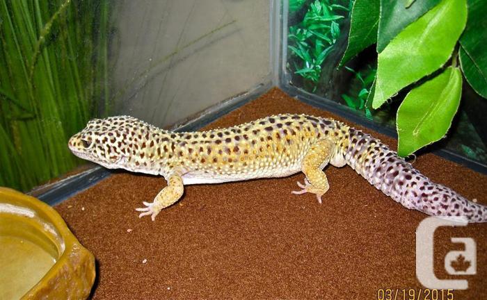 Snow leopard gecko