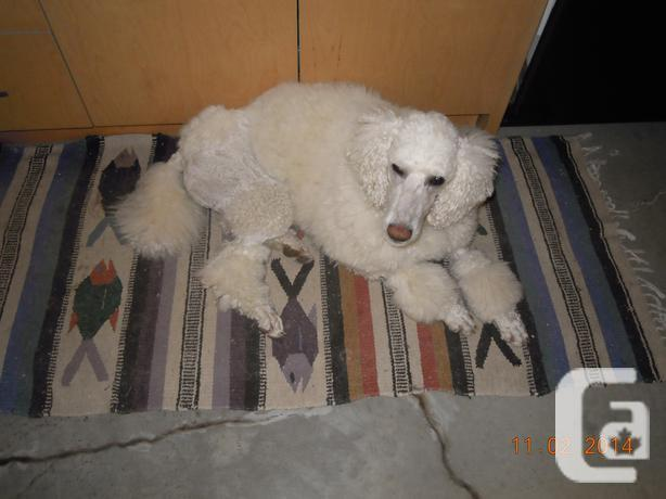 STANDARD POODLE PUPPIES for sale in Acheson, Alberta