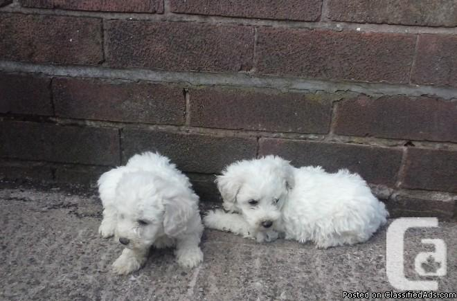 Super Adorable Maltese Puppies Available