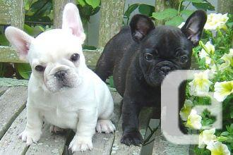 Super Cute French Bulldog Puppies for sale in Hardisty ...