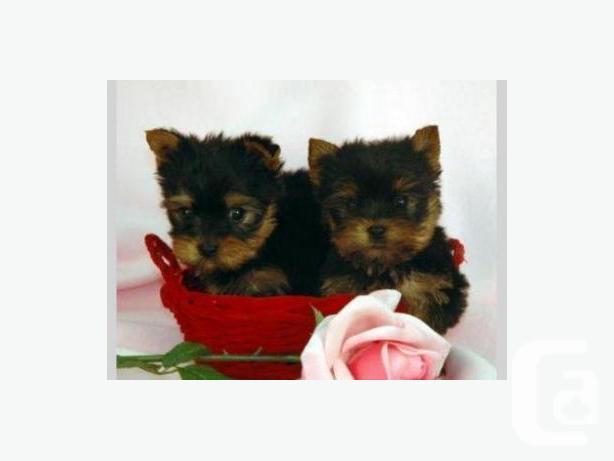 Sweet Gift Quality Yorkshire Terrier Puppies For