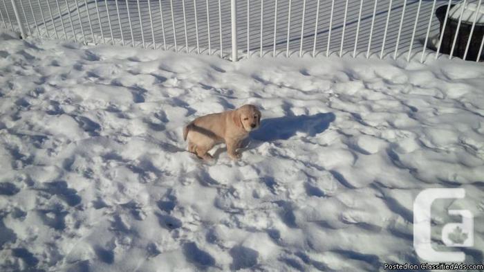 Sweetest little puppies golden retrievers
