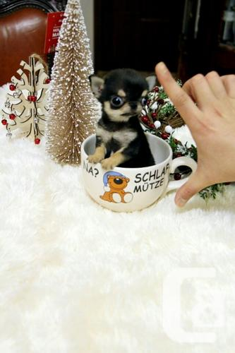 TCUP CHIHUAHUA PUPPIES REGULAR SIZES HLTH .GUARANTEE