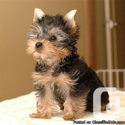 Toy And Teacup Yorkies Types