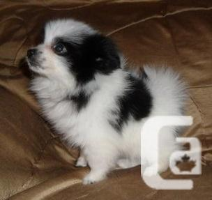 Two Awesome Pomeranian Puppies Available