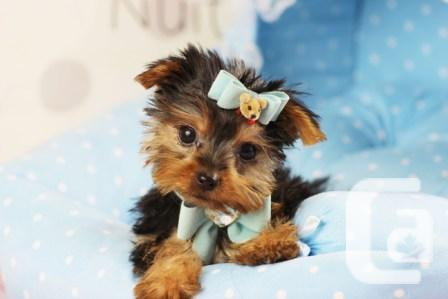 Wow!!! Yorkshire Terrier Puppies Available (832)