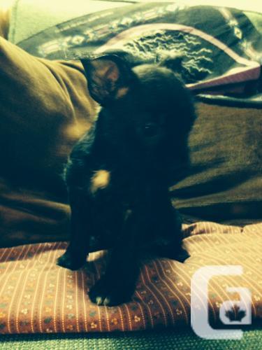 Yorkie Boston Terrier Mix