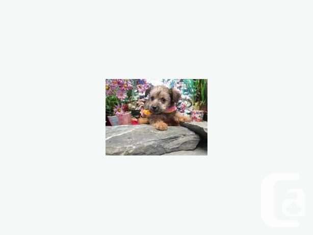 YORKYPOO puppies for sale! OUTSIDE GREATER TORONTO