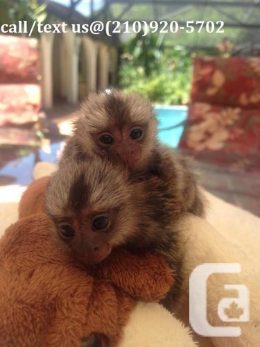 zx Free Baby pygmy Marmoset monkeys for adoption