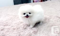 """""""Hi, My names is Abigail the tiny snow white Pomeranian. i got a beautiful personality, love to be cuddled and played with . Can i nibble on your nose? your chin? you will love my puppy kisses!! i will also be current with my vaccination and vet check"""