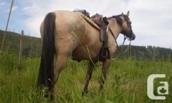 """2004 14h1"""" mare. QH x TW Miles of trails on this stout little horse she'll go all day. Good to handle, catch, load, & for the farrier, People loving personality, really smooth trot & canter. Forward going fast walk goes alone or with company. Not a"""