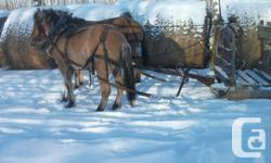 Well started team of buckskin PercheronXFiord mares for sale. They can be drove with open or blind bridles. Peaches & Pinky are full sisters. They will mature to about 1100 pounds & stand 15 to 15 & a half hands.They are real easy