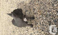 A Rare find Beautiful stunning Blue (Silver) female with a small amount of brindle and white on chest. Shark bloodlines. She is AKC and CKC Registered. $3500.00 PET PRICE. without breeding rights.  Breeding Rights