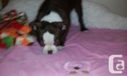 2 lovely chocolate tinted women boston terriers searching for a loving home.Both have actually been checkup, dewormed & & First shots completed.Outgoing, spirited,& & intelligent they prepare to go.Both moms and dads have fantastic temperments, which have