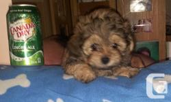 Beautifull Shih Tzu cross Toy Poodle Puppies offered. mama is a 5 pounds imperial pure shih tzu father is a 6 lbs pure plaything poodle.At 9 weeks aged they prepare to head to there brand-new homes. All puppies come with All chances around date in