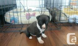 Pitbull pups available for sale - birthed Oct 17/2014. Prepared December 2014. 3 children as well as 3 women. Both moms and dads and also older sibling (2 years) could be seen. Father is white (blue nose) Mama is fawn (red nose). Excellent personality and